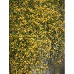 Ephedra altissima Desf. (Éphédra élevé)
