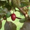 Mathieu Sinet - Prunus cerasifera Ehrh.