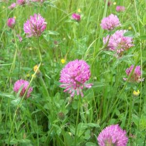 Trifolium pratense L. subsp. pratense (Trèfle commun)