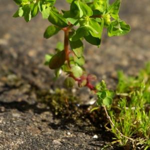 Photographie n°120208 du taxon Euphorbia peplus L. [1753]