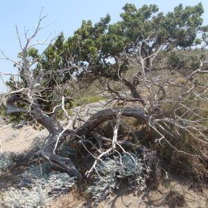 Photographie n°120254 du taxon Juniperus oxycedrus subsp. macrocarpa (Sm.) Ball