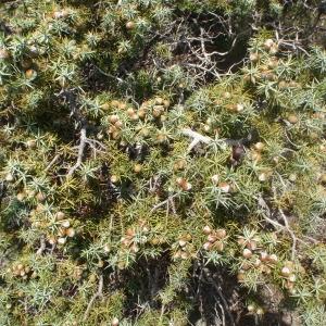 Photographie n°120255 du taxon Juniperus oxycedrus subsp. macrocarpa (Sm.) Ball