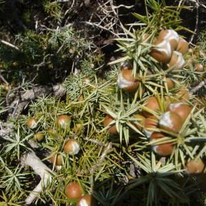 Photographie n°120256 du taxon Juniperus oxycedrus subsp. macrocarpa (Sm.) Ball