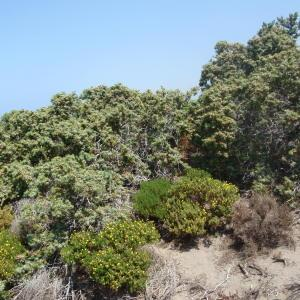 Photographie n°120257 du taxon Juniperus oxycedrus subsp. macrocarpa (Sm.) Ball