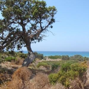 Photographie n°120258 du taxon Juniperus oxycedrus subsp. macrocarpa (Sm.) Ball