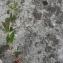 Alain LÉtrange - Veronica austriaca subsp. teucrium (L.) D.A.Webb [1972]