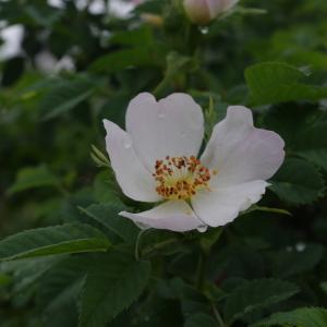 Photographie n°120325 du taxon Rosa canina L. [1753]