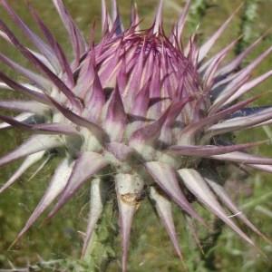 Photographie n°120354 du taxon Onopordum rhodense