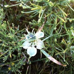 Photographie n°120463 du taxon Nigella arvensis L. [1753]