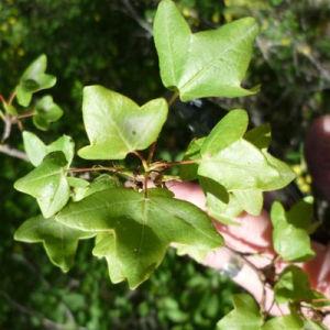 Photographie n°120466 du taxon Acer monspessulanum L. [1753]