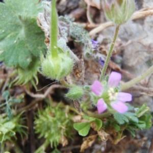 Photographie n°120476 du taxon Geranium L.