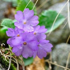Photographie n°120557 du taxon Primulaceae