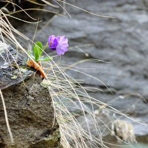 Photographie n°120558 du taxon Primulaceae
