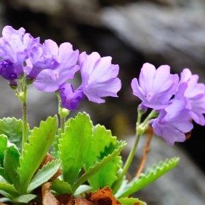 Photographie n°120559 du taxon Primulaceae