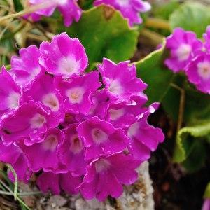 - Primulaceae