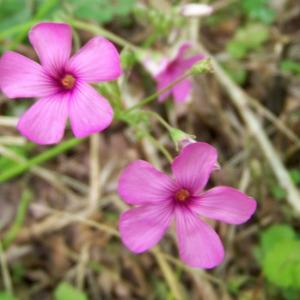 Oxalis articulata Savigny subsp. articulata (Oxalide articulée)