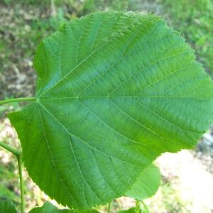 Tilia platyphyllos Scop. subsp. platyphyllos (Tilleul à grandes feuilles)
