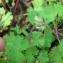 Mathieu Sinet - Geranium rotundifolium L. [1753]