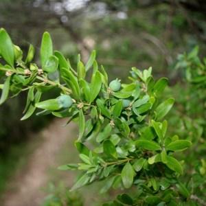 Photographie n°120833 du taxon Buxus sempervirens L. [1753]