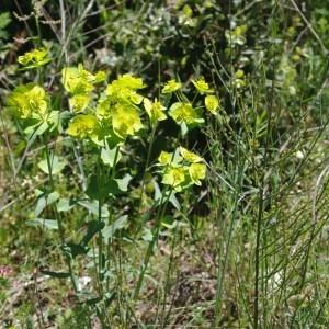 Photographie n°120839 du taxon Euphorbia serrata L. [1753]
