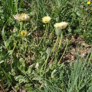 Photographie n°120848 du taxon Urospermum dalechampii (L.) Scop. ex F.W.Schmidt [1795]