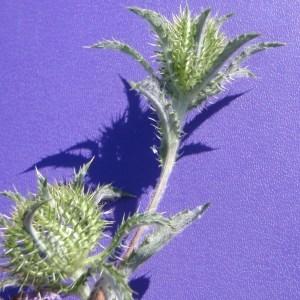 Photographie n°126119 du taxon Atractylis cancellata L.