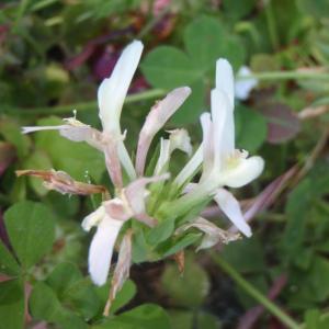 Photographie n°127884 du taxon Trifolium L. [1753]
