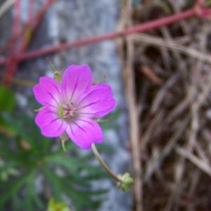 Photographie n°129587 du taxon Geranium columbinum L.