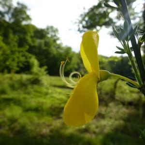 - Cytisus scoparius (L.) Link