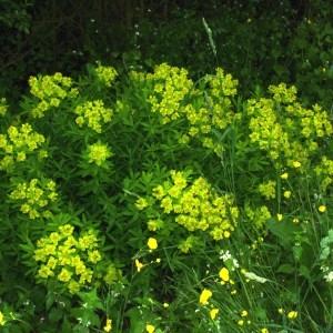 Photographie n°129734 du taxon Euphorbia palustris L. [1753]