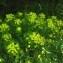 Jean-Luc Gorremans - Euphorbia palustris L. [1753]