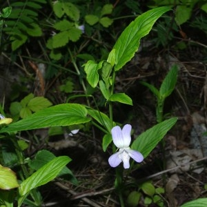 Photographie n°129742 du taxon Viola elatior Fr.
