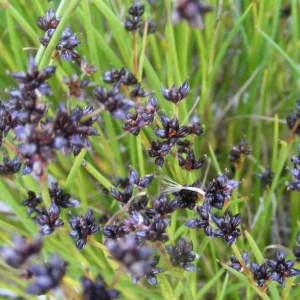 Juncus alpinoarticulatus Chaix (Jonc alpin)