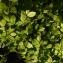Marc SEGUIN - Carpinus betulus L.