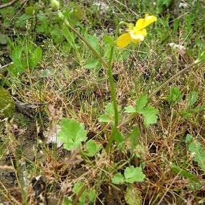 Photographie n°129843 du taxon Ranunculus sardous Crantz