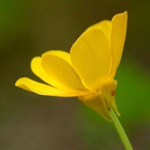 Photographie n°129844 du taxon Ranunculus sardous Crantz