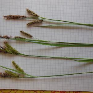 Photographie n°129871 du taxon Carex glauca Scop. [1772]