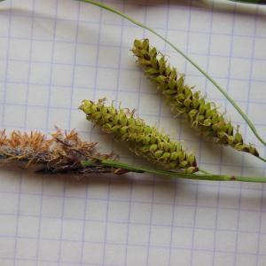 Photographie n°129872 du taxon Carex glauca Scop. [1772]