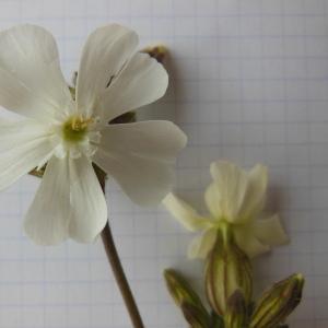 Photographie n°129905 du taxon Melandrium album (Mill.) Garcke [1858]