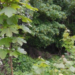 Photographie n°129963 du taxon Acer pseudoplatanus L.