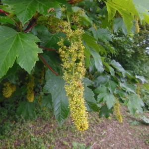 Photographie n°129964 du taxon Acer pseudoplatanus L.