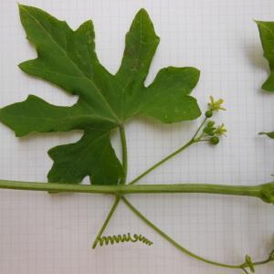 Photographie n°129976 du taxon Bryonia dioica Jacq. [1774]