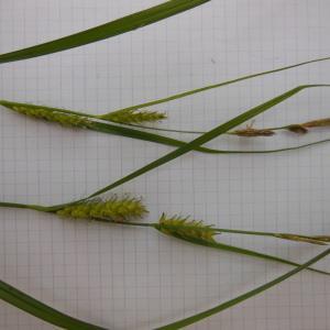 Photographie n°129978 du taxon Carex hirta L. [1753]