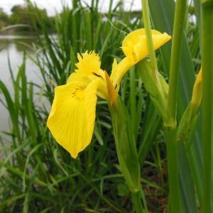 Photographie n°129986 du taxon Iris pseudacorus L. [1753]
