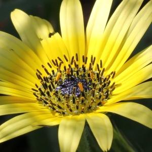 Arctotheca calendula (L.) Levyns (Arctothèque)