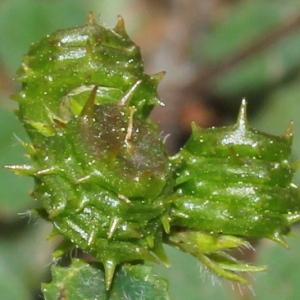 Medicago murex Willd. subsp. murex