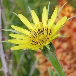 Photographie n°130147 du taxon Tragopogon dubius Scop. [1772]