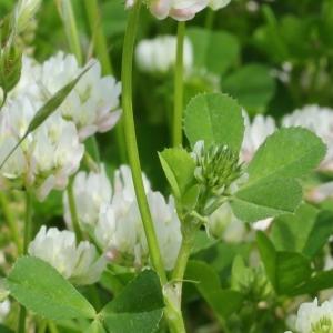 Photographie n°130151 du taxon Trifolium nigrescens Viv.