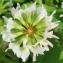 Marie  Portas - Trifolium nigrescens Viv.