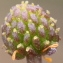 Marie  Portas - Ranunculus baudotii Godr. [1840]